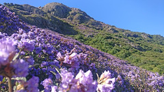 Neelakurinji bloom (theindiannaturalist) Tags: bloom wildflowers wild india southindia westernghats nilgiris indianwildlife indianwilderness landscapes floral flora wildflowersofindia strobilanthes neelakurinji flowerbed colours purple scapes flowerscapes blueskies