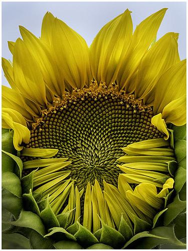 Sunflower Hug by Barbara Dunn - Class A Digital -  Award- Sept 2018