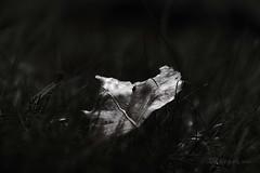Moonlight Leaf ... (MargoLuc) Tags: autumn fallen leaf meadow grass shinning monochrome dark bw bokeh light soft