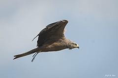 DSC_6740 (P2 New) Tags: 2018 accipitridae accipitriformes animaux date espagne extremadura mai milannoir oiseaux pays