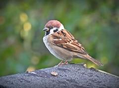 Tree Sparrow (Deida 1) Tags: treesparrow passermontanus bird wildlife uk staffordshire garden
