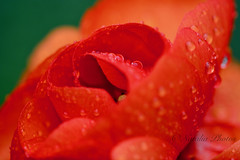 Colours of sunset (avnz101) Tags: flower bright orange ranunculus macro coth alittlebeauty coth5 fantasticnature