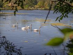 Lake Swans (Greg Jarman) Tags: swans birds nature animal water lake olympus omd em1 scenic panasonic 425mm 17 micro four thirds m43