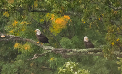 7K8A8096 (rpealit) Tags: scenery wildlife nature state line lookout bald eagle bird