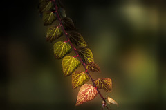 Colorful beautiful leaves (bluesbby) Tags: leaves colorful beautiflul natue branch
