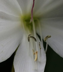 Lily study.  (IMG_1803) (Robert G Henderson (Romari).) Tags: peoplespalace glasgow october 2018 canon m5