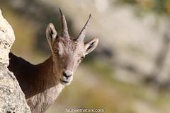 Etagne (fauneetnature) Tags: étagne bouquetin ibex animalier animal alpes alps animauxmontagne maurienne montagne mountain mountainanimals savoie faune nature naturephotography photonature photoanimalière photomontagne mountainphotography