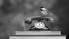 Bird Calls (dshoning) Tags: phone bird chickadee books bw calls