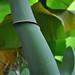 Pisang Kepok Bung_Peduncle close-up