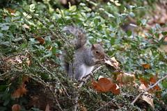 Squirrel from St James's Park (Christophe Rose) Tags: londres nikon d5600 london uk écureuil squirrel park stjames parc rongeur rodent faune fauna christophe rosé christopherose flickr 2018 natureinfocusgroup