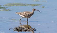 Curlew (Steve (Hooky) Waddingham) Tags: bird british countryside coast nature northumberland animal flight wild wildlife wader