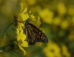 MonarchButterfly_SAF7510 (sara97) Tags: danausplexippus butterfly copyright©2018saraannefinke endangered insect missouri monarch monarchbutterfly nature photobysaraannefinke pollinator saintlouis