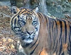Tigre de Sumatra (Zoo-Parc de Beauval) (annie.dalbera) Tags: dalbera anniedalbera tigre zoodebeauval france