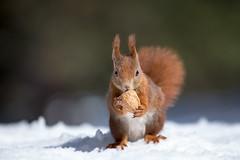 Red squirrel (Mary Bassani) Tags: squirrel ardilla scoiattolo neve snow montagna mountain valroseg svizzera switzerland suiza animalplanet animal mammal mammiferi winter wildlifephotographer wildlife canonphotographer canon naturewildlifephotographer