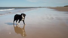 A dog, his shadow and his reflection (Captain192) Tags: dog dogs collie spaniel bordercollie spanielcolliecross sprollie beaches sand sea waves norfolk brancaster brancasterbeach norfolkcoast norfolkbeaches