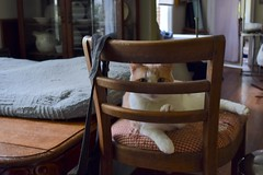 tall chair in the wrong room II (rootcrop54) Tags: otis dilute orange ginger tabby male tallchair backwards neko macska kedi 猫 kočka kissa γάτα köttur kucing gatto 고양이 kaķis katė katt katze katzen kot кошка mačka gatos maček kitteh chat ネコ