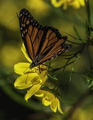 MonarchButterfly_SAF9762-2 (sara97) Tags: danausplexippus butterfly copyright©2018saraannefinke insect missouri monarch monarchbutterfly nature photobysaraannefinke pollinator saintlouis towergrovepark urbanpark
