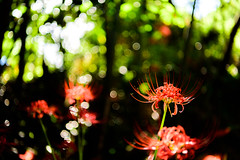 ヒガンバナ 2018 #3ーRed spider lily 2018 #3 (kurumaebi) Tags: yamaguchi 秋穂 山口市 nikon d750 nature landscape 花 ヒガンバナ 彼岸花 flower red spider lily