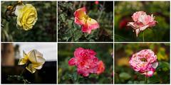 ....die letzten Blüher in diesem Jahr im Rosengarten von Eltvielle (mohnblume2013) Tags: rosen blumen collage eltvielle rosengarten rosenstadt rheingau rhein