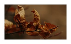 Cycle Of Nature (~Scimo~) Tags: herbst laub natur sony autumn leaf nature zeiss rx10 bokeh leaves season jahreszeit