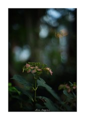 2018/9/14 - 9/15 photo by shin ikegami. - SONY ILCE‑7M2 / Lomography New Jupiter 3+ 1.5/50 L39/M (shin ikegami) Tags: 紫陽花 flower 花 macro マクロ 井の頭公園 吉祥寺 summer 夏 sony ilce7m2 sonyilce7m2 a7ii 50mm lomography lomoartlens newjupiter3 tokyo sonycamera photo photographer 単焦点 iso800 ndfilter light shadow 自然 nature 玉ボケ bokeh depthoffield naturephotography art photography japan earth asia