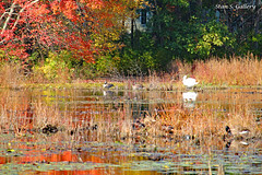Autumn Colors 2018 - 28 (Stan S. Gallery) Tags: wildfowl autumn fall fallcolors colors ducks pond water waterscape wet wetreflections wetlands reflections trees woods forest landscape grass leaves waterlillies