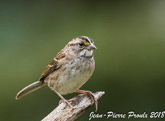 Bruant a Gorge Blanche / White-throated Sparrow (proxy46) Tags: 200500mm bruantagorgeblanche nikon portneufsurmer côtenord d500 limicoles oiseau2018