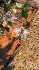 "Meadowlark Clips (EDWW day_dae (esteemedhelga)™) Tags: garden nature season flower splants bloom botany nursery parks blossom perennial annual bud cluster floret efflorescence seedling biennial greenery bouquet posy rosette natura mothernature greatmotherdamenature"" vegetation horticulture flora botanical juncture natural beauty creation siring passion sprout esteemedhelga edww daydae digitalpainting paintings art digitalmedia brushstoke artistry"