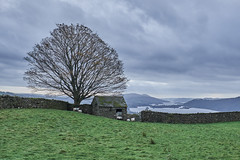 Sheltering Sheep (scottprice16) Tags: england lakewindermere ldnp nationalpark worldheritagesite outdoors view shelter barn sheep tree water cloud storm october 2018 autumn fuji fujixt1 18135mm weather walking robinlane