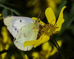 Butterfly_SAF6123 (sara97) Tags: butterfly copyright©2018saraannefinke flowers insect missouri nature photobysaraannefinke pollinator saintlouis towergrovepark urbanpark