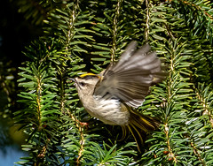 Golden-crowned Kinglet (Gerry McGee) Tags: goldencrownedkinglet woodlawncemetery