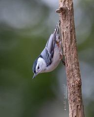 White-breasted Nuthatch (Bill McDonald 2016) Tags: nuthatch whitebreasted fall autumn october 2018 ontario canada perching perched billmcdonald wildlife nature wwwtekfxca birdonastick