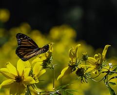 MonarchButterfly_SAF6937-1 (sara97) Tags: danausplexippus butterfly copyright©2018saraannefinke endangered missouri monarch monarchbutterfly nature photobysaraannefinke pollinator saintlouis towergrovepark