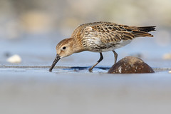 Dunlin, Ballygally (allengillespie.photo) Tags: dunlin waders shorebirds larne