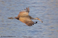 Limpkin Flying with Apple Snail (rosemaryharrisnaturephotography) Tags: limpkin florida limpkinflyingwithapplesnail applesnail food rosemaryharris canoneos7dmk11 canon400mmf56usmlens blue nature wildlife flying ngc coth5 npc