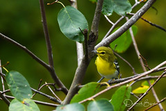 Late Migrant (dbifulco) Tags: nature ytvi yellowthroatedvireo bird fall newjersey sussexcounty wildlife yard