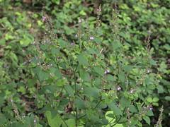イヌコウジュ (mayfly jpn) Tags: 野草 9月 山の花