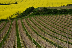(*Vasek*) Tags: fields vineyard rapeseed řepka czech moravia morava europe nikon d7100 spring nature