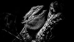rc_wildlife_5 (R.C. Reshel) Tags: wildlife animals tiere aquarium bauernhof ozean säugetiere vögel insekten schmetterlinge fische echse agame bartagame schwarzweis