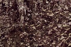 0808 05 (pni) Tags: nature park forest tree multiexposure multipleexposure tripleexposure hiidenkiukaanpuisto jätterösparken lövö lehtisaari helsinki helsingfors finland suomi pekkanikrus skrubu pni leaf foliage