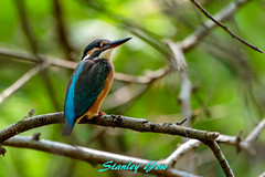Common kingfisher (yowstanley) Tags: nikon nature d850 200500mm green garden bird park