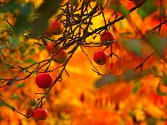 APPLES PA078029 (hlh 1960) Tags: apple apfel ernte autumn herbst farben colour leaves blätter fall foliage nature baum ast green red natur garten garden obst früchte germany indiansummer