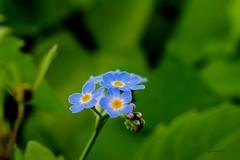 0134 Moeras vergeet-me-nietje (leike49) Tags: blume bloemen pflanze makro natur closeup