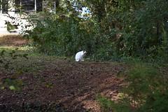 first spotting (rootcrop54) Tags: patchtabby neighborhood cat teenager friendly cute sweet neko macska kedi 猫 kočka kissa γάτα köttur kucing gatto 고양이 kaķis katė katt katze katzen kot кошка mačka gatos maček kitteh chat ネコ