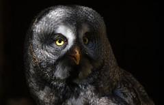 Light and Shadow (Nephentes Phinena ☮) Tags: nikond500 sigma50500mmf463 wildparkeekholt falconry falknerei greatgreyowl bartkauz