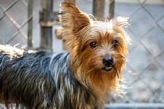 Yoko13Oct201895.jpg (fredstrobel) Tags: dogs pawsatanta pets atlanta animals usa ga places pawsdogs decatur georgia unitedstates us