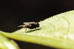 Musca domestica (zs_and_zs) Tags: muscadomestica fly légy outdoor garden sunny macro closeup insect leaf eyes wings small