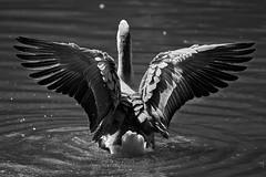 want to be an angel (rondoudou87) Tags: oie goose pentax k1 rondoudou87 parc park parcdureynou zoo reynou bird oiseau nature natur noiretblanc noir blanc black blackwhite monochrome wildlife wild white bw water eau wings ailes smcpda300mmf40edifsdm