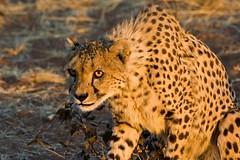 Ready to Run (aivar.mikko) Tags: cheetah cheetahs acinonyxjubatus acinonyx jubatus bigcat bigcats big cat cats spitzkoppe etosha wildlife animals animal namibia namibian southafrica southafrican south africa african coth5
