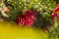 (louisa_catlover) Tags: cranbourne royalbotanicgardenscranbourne melbourne victoria australia garden nature outdoor spring october sunny afternoon plant native australian bokeh dof flowers red